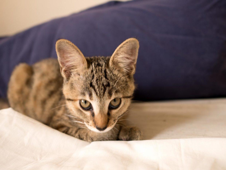 Die Cougar Cat Katze