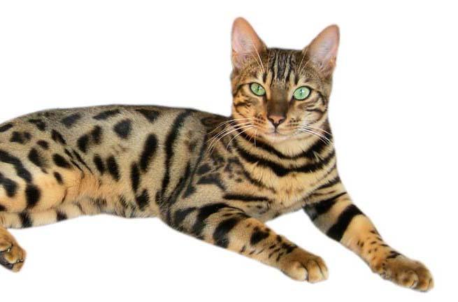 Die Bengal Katze