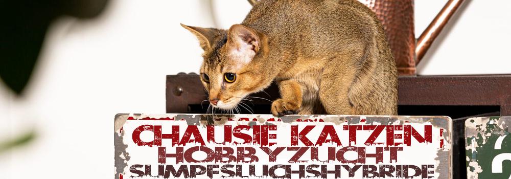 Chausie Katzen Hobbyzucht Sumpfluchshybride